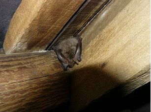 Brown Long-eared bat: F. Elphick