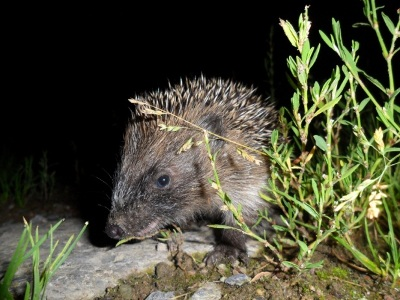 Young Hedgehog: J Maybry
